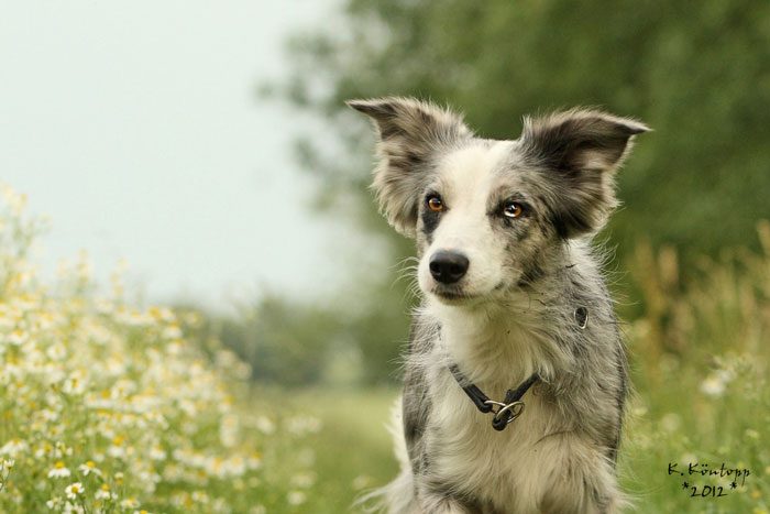 Therapiebegleithund Border Collie Amy von der Zucht a baltic border